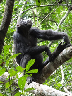 Searching for supper: an adult female chimpanzee inspects a food tree.