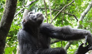 Searching for bountiful fruit crops in the rain forest, chimpanzees remember past feeding experiences