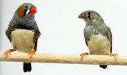 Forscher finden einen Mechanismus, der das Gesangslernen junger Zebrafinken verbessern kann