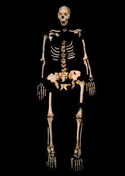 Skeleton of a <em>Homo heidelbergensis</em> from Sima de los Huesos, a unique cave site in Northern Spain.