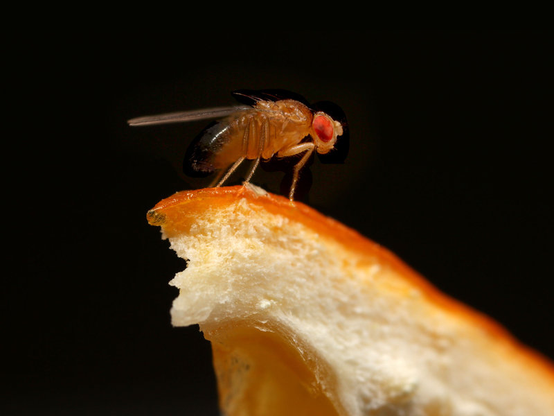 Preference for oranges protects fruit flies from parasites ...