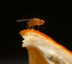<p>Fruit fly <em>Drosophila melanogaster</em> on an orange peel. The citrus fruit is an ideal oviposition substrate for the flies because the parasitoid wasp <em>Leptopilina boulardii,</em> which lays its eggs inside <em>Drosophila</em> larvae, is repelled by the odour of citrus.</p> <p> </p> <p> </p>