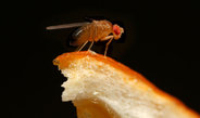 Preference for oranges protects fruit flies from parasites