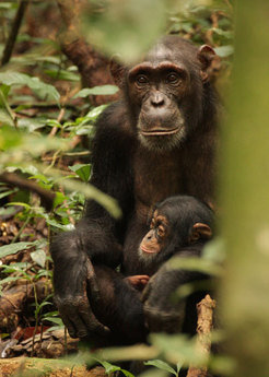 In contrast to bonobos chimpanzees show a decline in thyroid hormone levels during puberty.