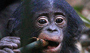 Contrary to humans and chimpanzees bonobos retain elevated thyroid hormones well into adulthood.