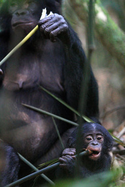Baby bonobo with its mother: In this chimp species higher levels of thyroid hormones during adulthood influences social behavior and cognitive skills.