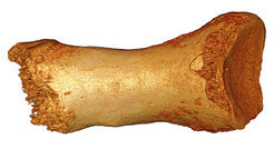 The high-quality genome sequence was generated from this small Neandertal toe bone.
