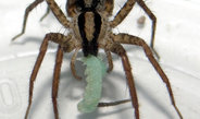 Toxic breath keeps spiders away