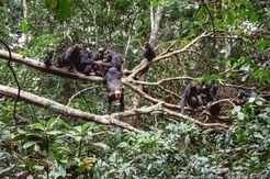 After hunting, chimpanzees share the meat of a red colobus monkey amongst them.