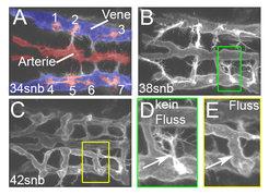 <strong>Abb. 1: Zeitlicher Ablauf der Blutgefäßbildung im Gehirn.</strong> Mikroskopische Aufnahmen der Gehirnblutgefäße in lebe