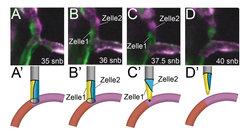 <strong>Abb. 3: Änderung der Blutgefäßarchitektur von einem multizellulären Lumen zu einem unizellulären Lumen während