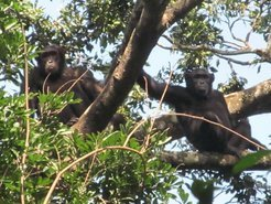 In a remote region in the north of the Congo scientists discovered an unknown population of Eastern chimpanzees. Like all natural ape populations poaching is a major threat.