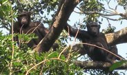 Several thousand chimpanzees inhabit a remote forest area in the northern Democratic Republic of the Congo.