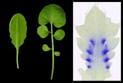 Thale cress leaves lack the <em>RCO</em>-gene and remain simple (left). In the leaves of the hairy bittercress (middle) the <em>RCO</em>-gene inhibits cell growth between sites of leaflet formation (right; blue: active <em>RCO</em>-gene).