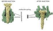 Tc-Toxine injizieren bakterielle Giftstoffe auf bislang unbekannte Weise