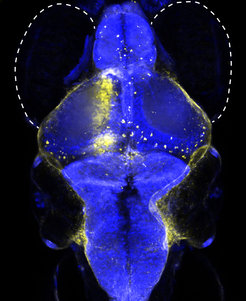 Newly discovered neuron type (yellow) helps zebrafish to coordinate its eye and swimming movements. The image shows the blue-stained brain of a fish larva with the suggested position of the eyes.