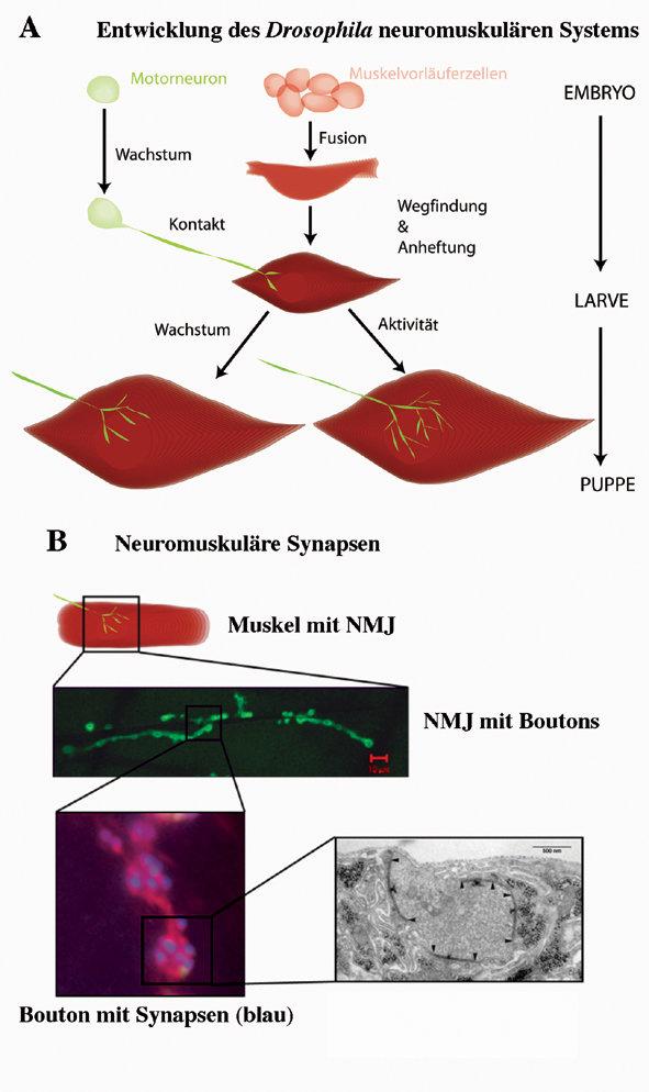 Neuromuskuläre Synapsen von <i>Drosophila</i> als Modell zum Studium synaptischer Entwicklung und Plastizität:  (A) Entwicklung des neuromuskulären Sy