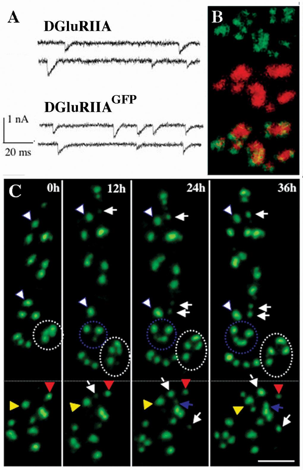 Markierung synaptischer Glutamatrezeptoren mit dem selbstleuchtenden GFP-Protein erlaubt die Langzeit-Darstellung synaptischer Rezeptorfelder in leben