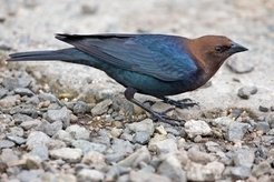 The brown-headed cowbird of North America can place several dozen eggs in other birds' nests to leave them to be hatched by step-parents.