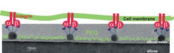 Schema der Biofunktionalisierung von nanostrukturierten Grenzflächen [3].