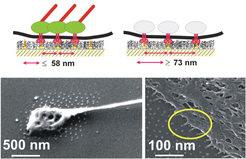 Wir haben eine starre Schablone von zelladhäsiven Nanopunkten entwickelt. Jeder Nanopunkt ist mit Liganden für einzelne Integrine  bedeckt, die mit gr