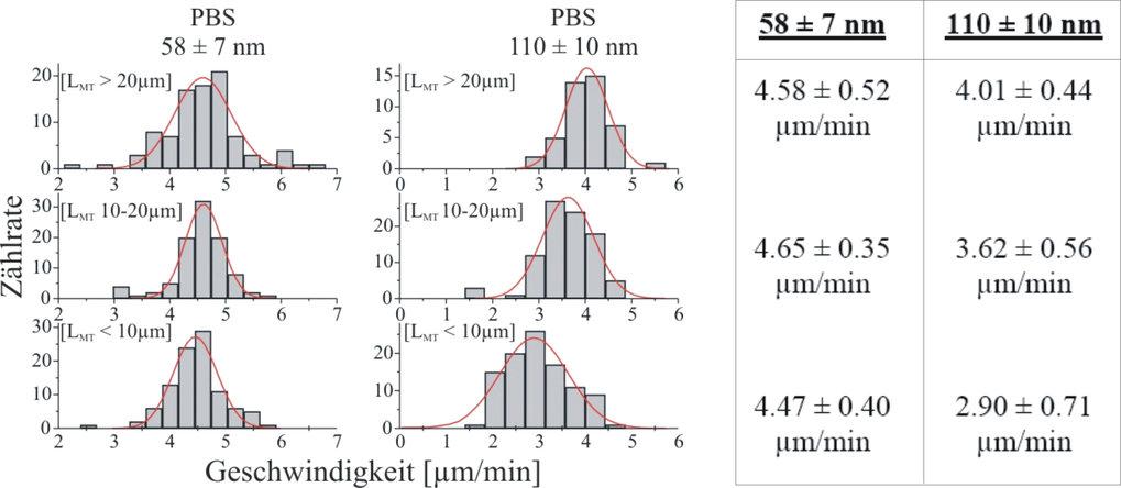 Ermittelte Geschwindigkeiten von Mikrotubuli auf mit E5 molekularen Motoren belegten Nanostrukturen in Abhängigkeit von der Mikrotubulilänge.