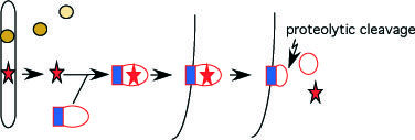 Für die intra-individuelle Unterscheidung zwischen verschiedenen Zellen müssen die MHC-Komplexe auf der Zelloberfläche immobilisiert werden. Dies benö
