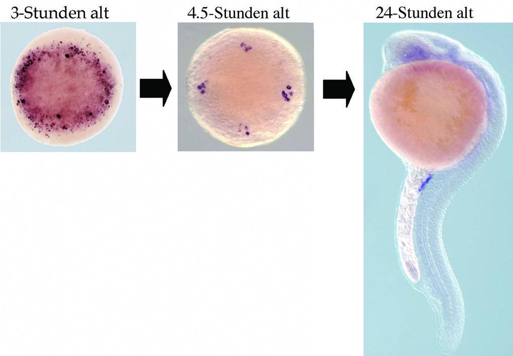Anpassung des Expressionsmusters von RNA, die Keimzellen-spezifisch wird. Ein Beispiel für eine RNA, die in den Keimzellen und somatischen Zellen währ