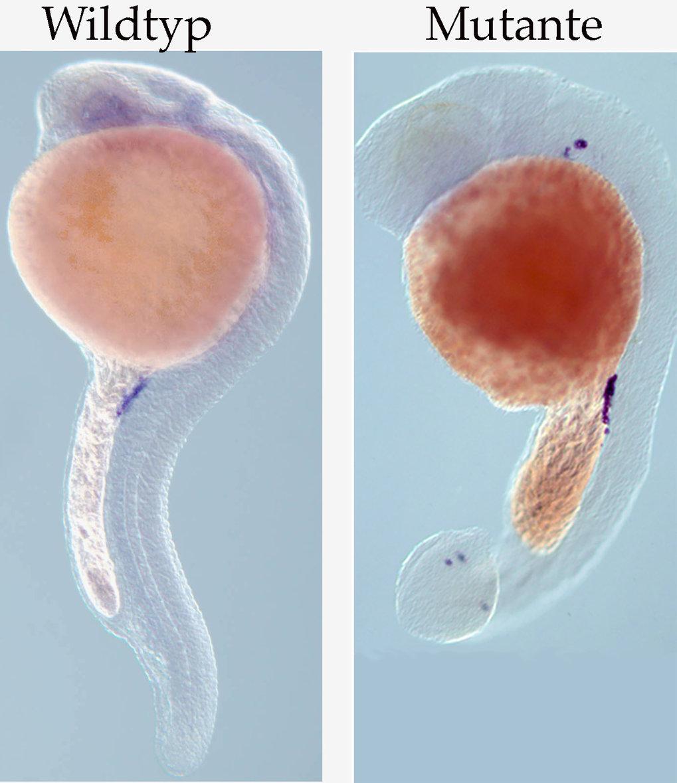Ein Beispiel für die Wichtigkeit von Signalen der somatischen Zellen für die normale Keimzellmigration. In den Wildtyp-Embryonen erreichen die Keimzel