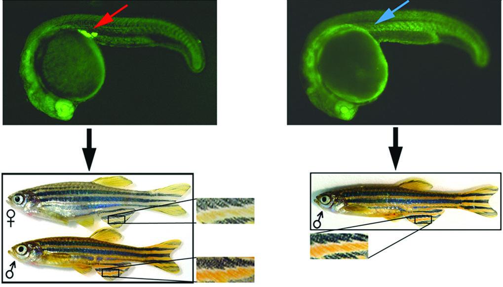 Die Rolle der Keimzellen in der Geschlechterentwicklung. Wildtyp-Embryonen mit normalen Keimzellen (roter Pfeil) entwickeln sich zu männlichen und wei