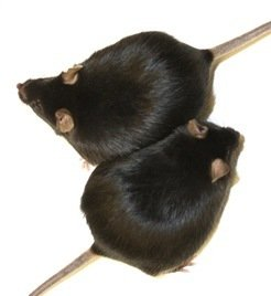 Fat and healthy: Mice that lack the enzyme HO-1, gain weight as the control group with enzyme. However, they remain healthy and live just as long as normal-weight animals.
