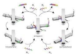 Das Prinzip des DNA-Lichtschalters: Im entspannten Zustand formen die beiden Goldstäbchen ein rechtwinkliges Kreuz (Mitte). Mit dem DNA-Fragment