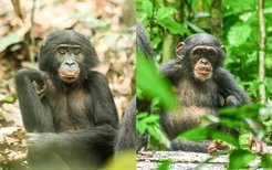 The five-year-old female Bonobo Solea (left) lives in LuiKotale, Democratic Republic of Congo. Maimouna (left), a five-year-old female chimpanzee, lives in the Taï National Park, Ivory coast.