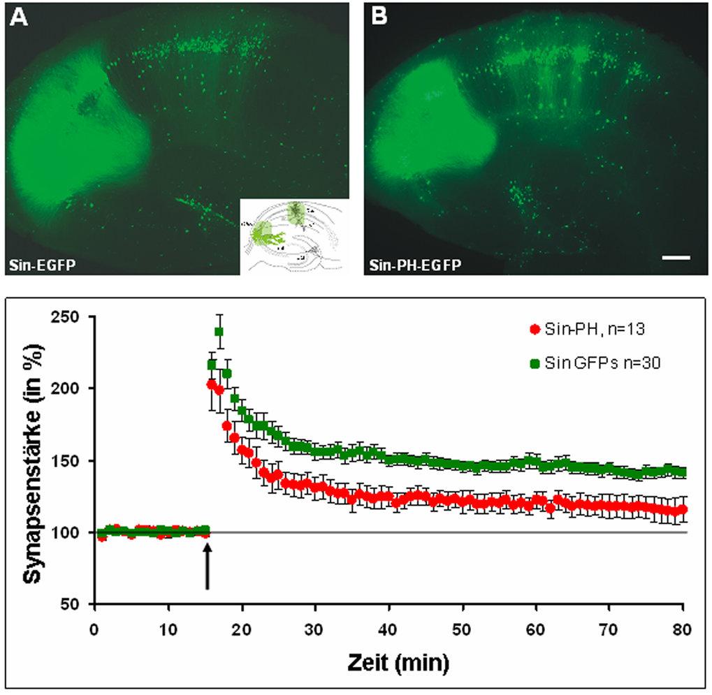 Nur eine prä- und postsynaptische Blockade der TrkB-aktivierten Signalkaskade, die synaptisch Plastizität vermittelt, führt zu einer Verminderung der