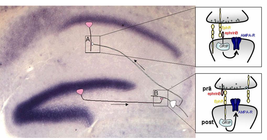 Hippokampale Gebiete, die eine hohe EphrinB-Expression zeigen, sind dunkelblau gefärbt. Situation A: Ein EphrinB-negatives, präsynaptisches Neuron (we