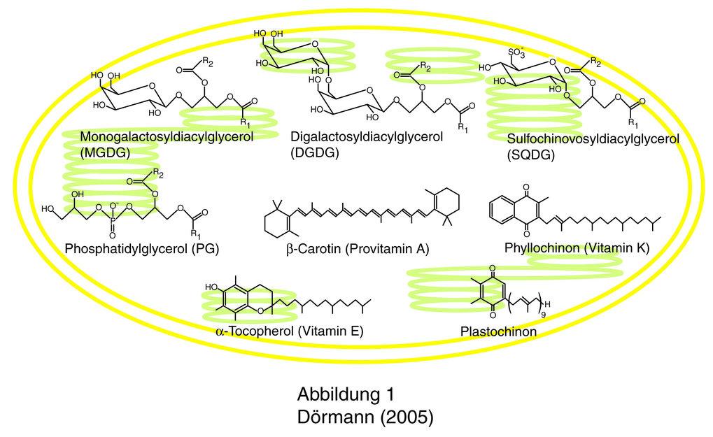 Chloroplasten höherer Pflanzen enthalten verschiedene Galactolipide, Sulfolipide, Phospholipide und Isoprenoidlipide.  Die beiden Galactolipide, Monog