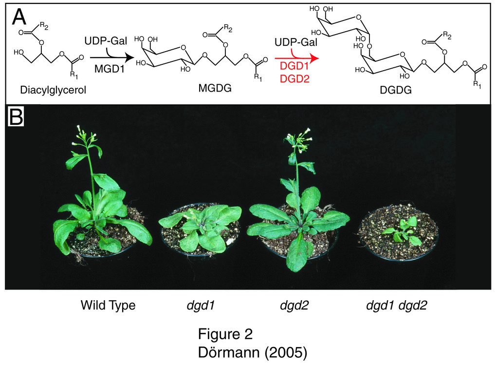 Galactolipid-defiziente Arabidopsis-Mutanten zeigen ein stark reduziertes Wachstum. A) Monogalactosyldiacylglycerol (MGDG) wird aus Diacylglycerol und