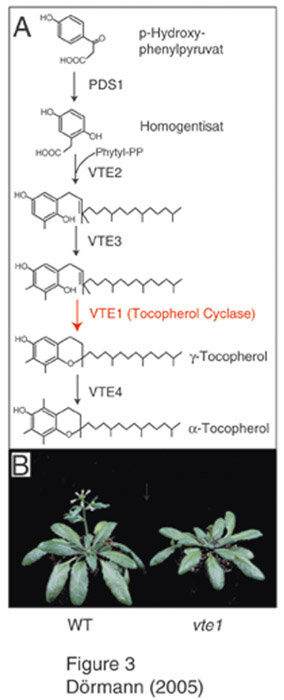 Tocopherol (Vitamin E)-Mangel hat keinen Einfluss auf das Wachstum von Arabidopsis-Pflanzen. A) Biosynthese von α-Tocopherol aus p-Hydoxyphenylpyruvat