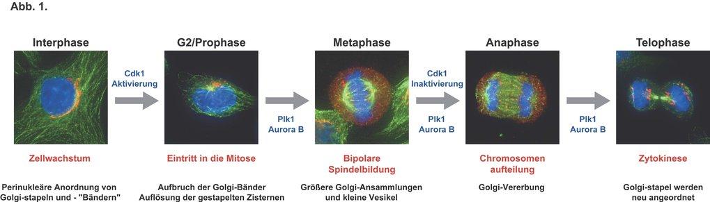Regulation von Zellteilung und | Max-Planck-Gesellschaft