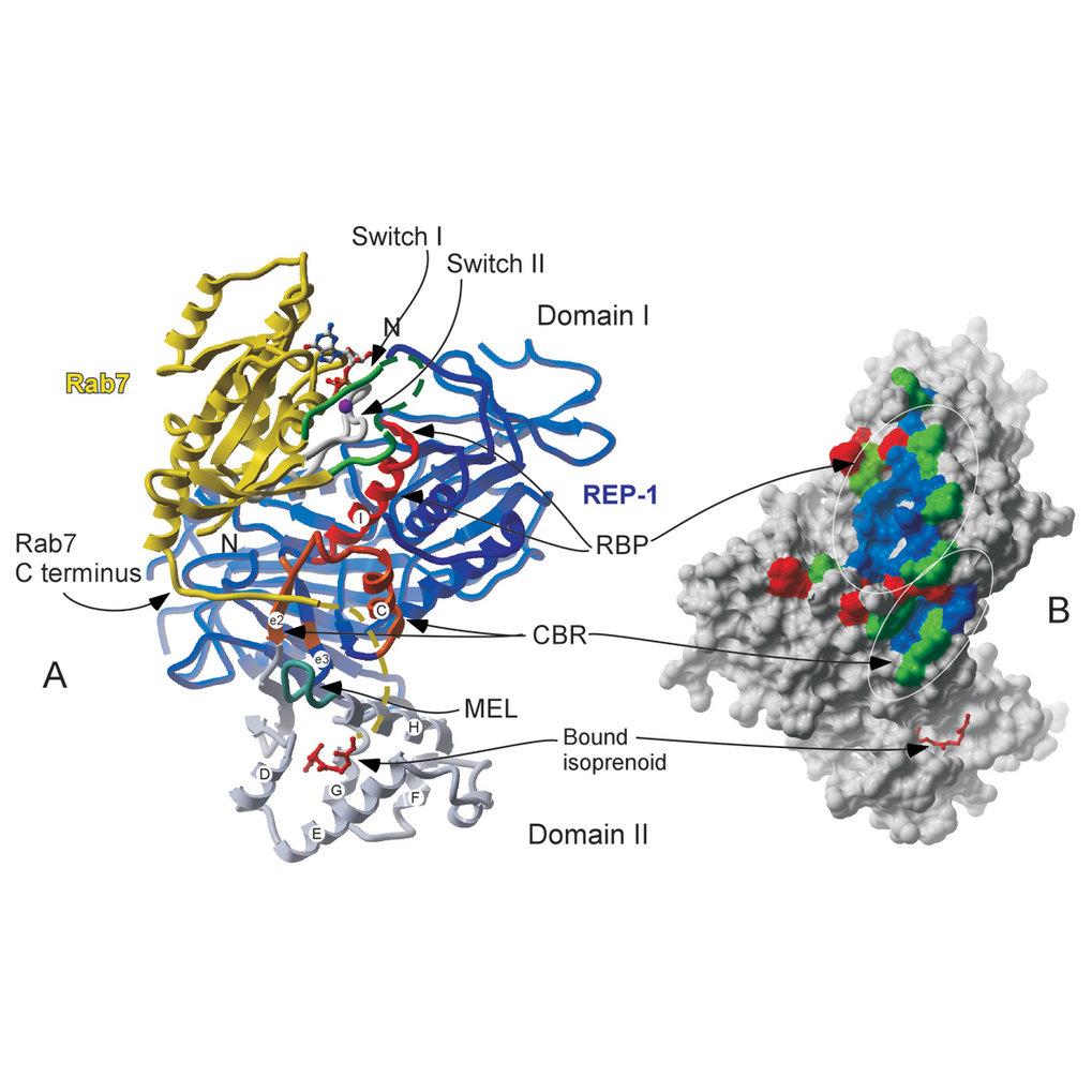 Struktur eines Komplexes zwischen REP-1 (blau), Rab7 (gelb), GDP (grau) und Mg2+ (magenta). Die Rab-bindende Plattform von REP ist rot, die C-Terminus