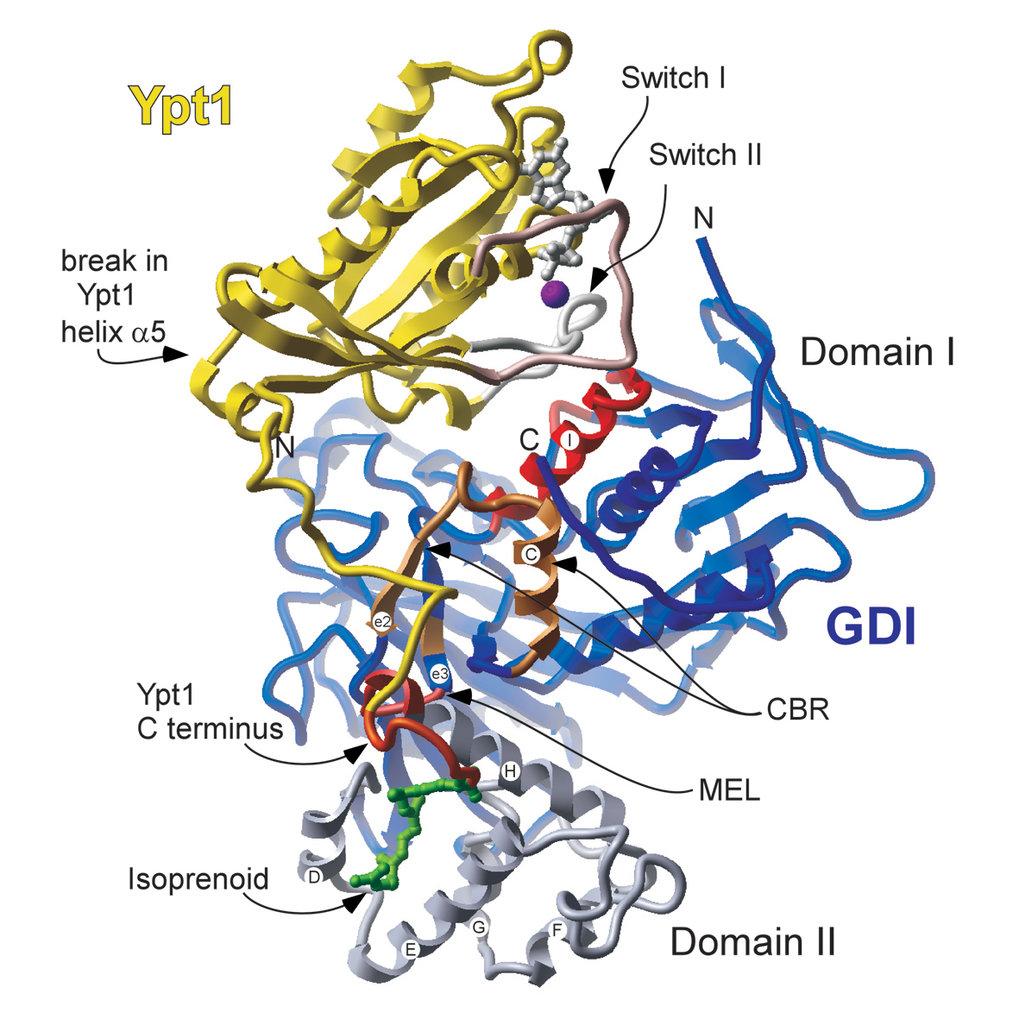 Struktur eines Komplexes zwischen monoprenyliertem YPT1 (Rab-Protein von Hefe; gelb) und GDI von Hefe (blau). Die Rab-bindende Plattform von GDI ist r