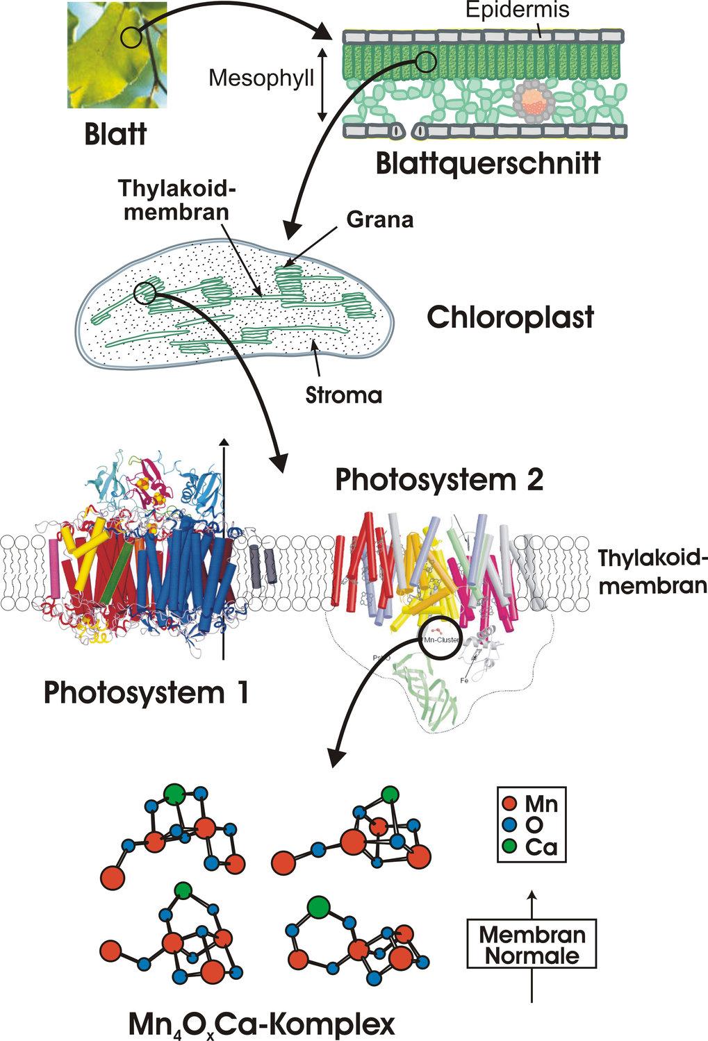 Photosynthetische Wasseroxidati | Max-Planck-Gesellschaft