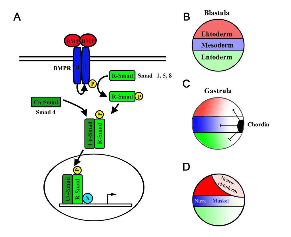 Der BMP-Signalgradient und frühe embryonale Musterbildung. A) Der BMP- Signalübertragungsweg: Die Bindung von BMPs an BMP-Rezeptorkomplexe führt zur A