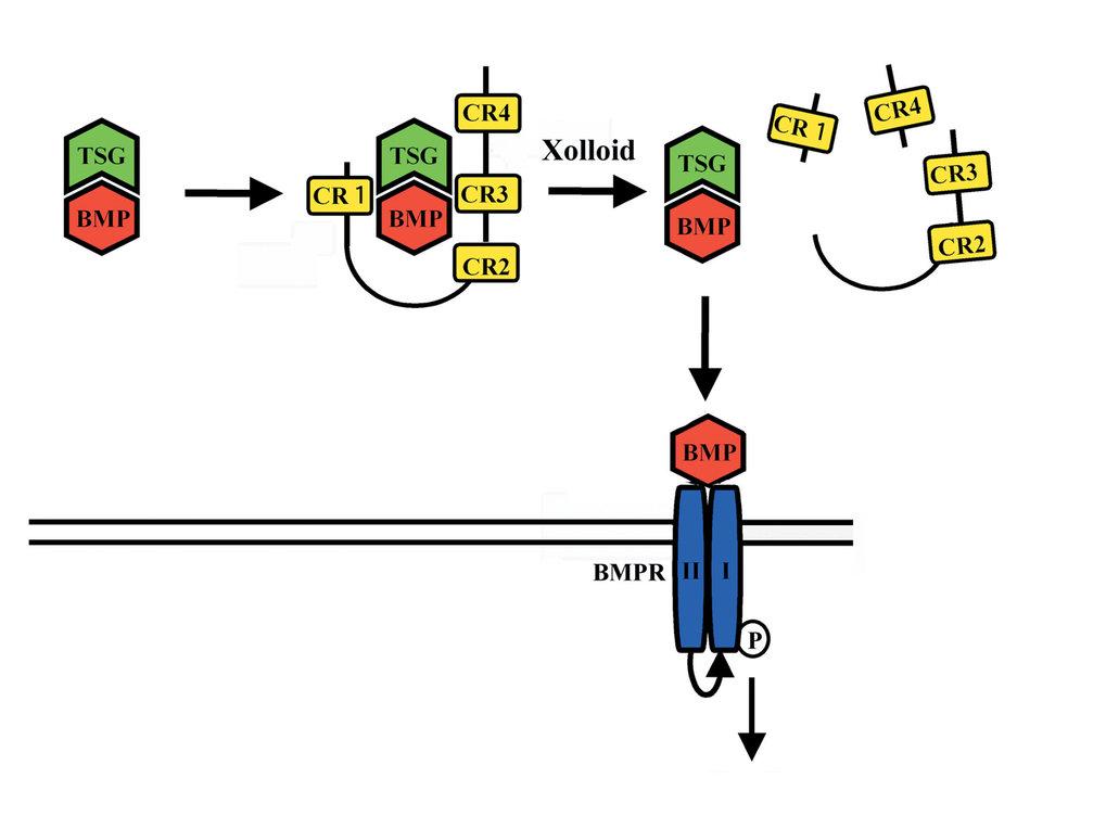 Regulation von BMPs im extrazellulären Raum.  BMP und Twisted gastrulation (Tsg) werden im frühen Embryo ko-exprimiert und bilden einen BMP-Tsg-Komple