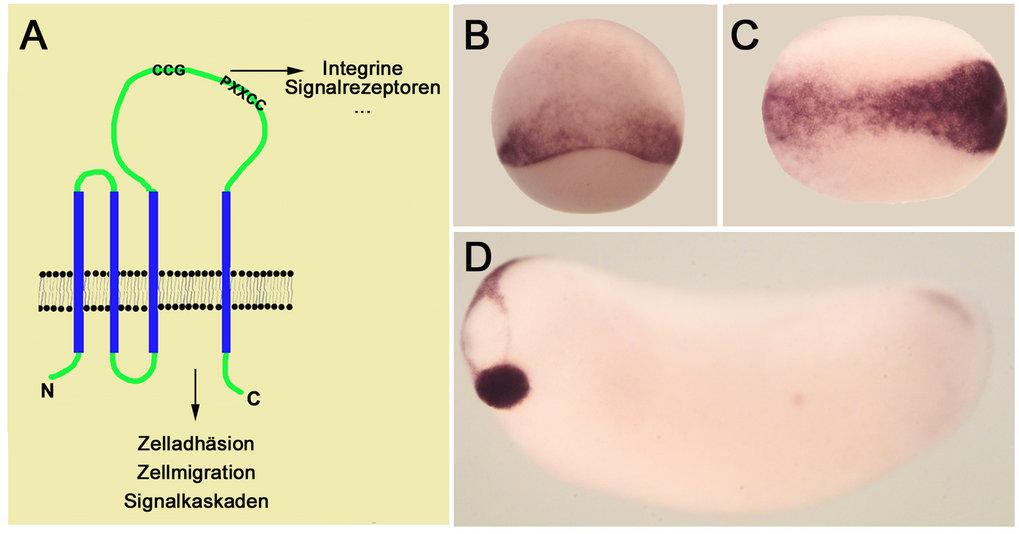 <i>Xenopus</i>-Tetraspanin: A) Proteine der Tetraspanin-Familie sind durch vier Transmembran-Domänen und eine große Schleifen-Domäne gekennzeichnet. D