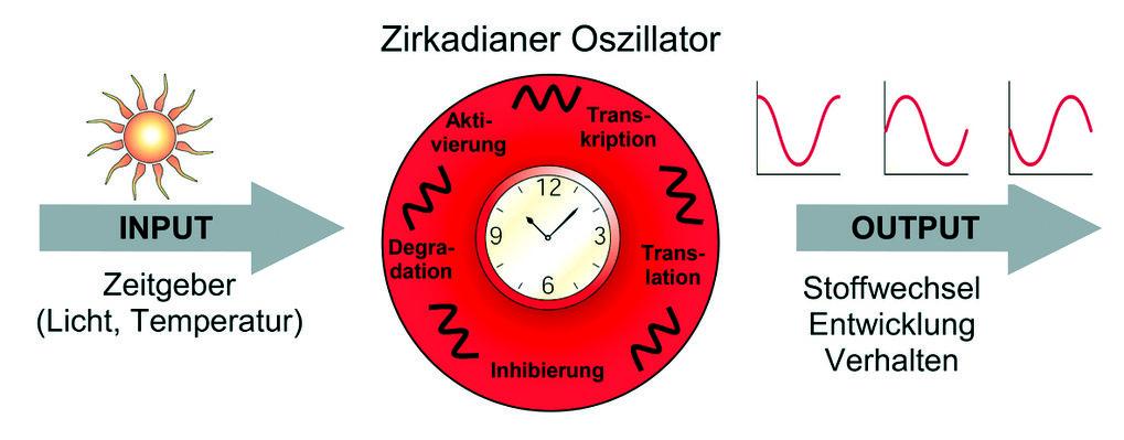 Schematische Darstellung eines zirkadianen Zeitmesssystems. Eingangssignale der Umwelt (Input) wie Licht und Temperatur wirken als so genannte Zeitgeb