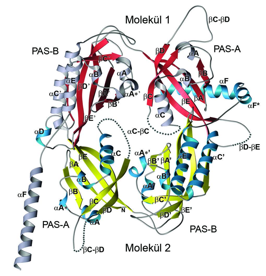Dreidimensionale Struktur der PAS-Wiederholungs-Region von Drosophila-PERIOD. Die Röntgenstruktur weist ein Dimer auf, das aus zwei miteinander wechse