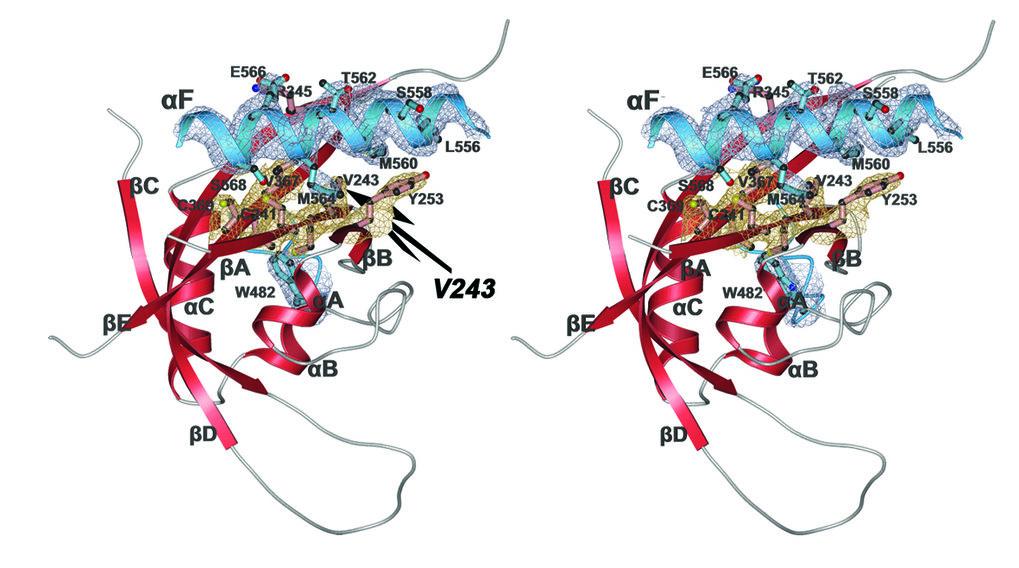 PAS-A-αF-Dimerkontaktfläche mit der Mutationsstelle Valin243. Die beiden Kopien stellen ein Stereopaar dar, das das räumliche Betrachten der Domäne er