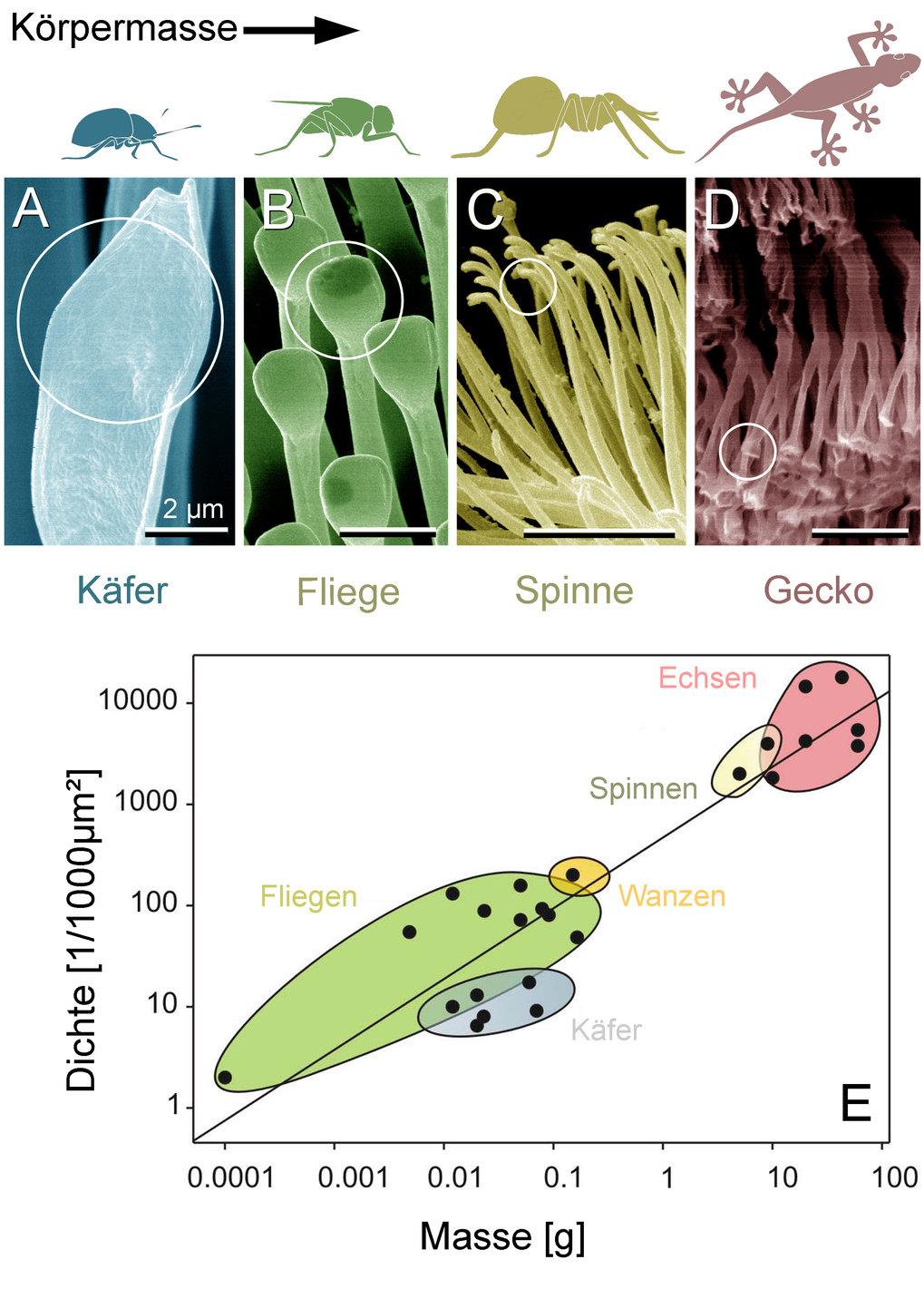 Das Elektronenmikroskop enthüllt spatelförmige Feinstrukturen (oben), die an den Fußsohlen von Käfern, Fliegen, Spinnen und Geckos für Haftung an Deck
