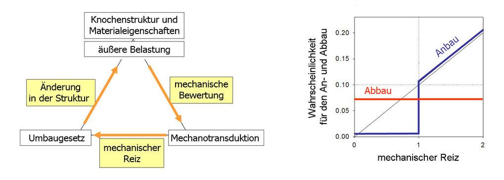 Links: Schematische Darstellung des Regelkreises im Knochen, wie er in Computersimulationen realisiert wird. Rechts: Beispiel eines Umbaugesetzes, wie